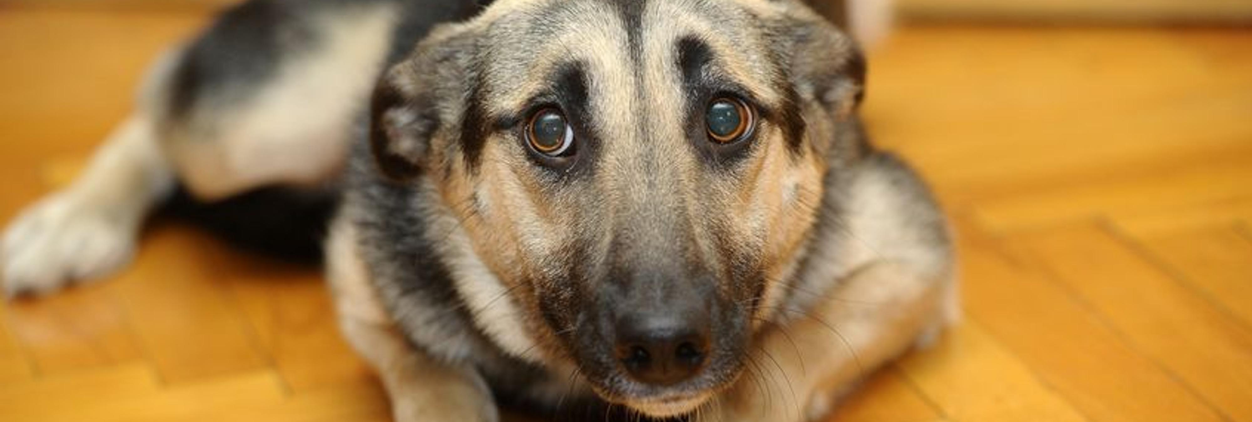 Denuncian la muerte de un perro por un paro cardíaco producido por el ruido de petardos