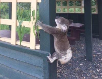 Investigan la muerte de un koala que fue atornillado a un poste