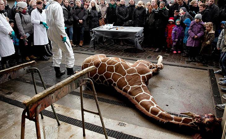 La jirafa Marius fue sacrificada por sus genes