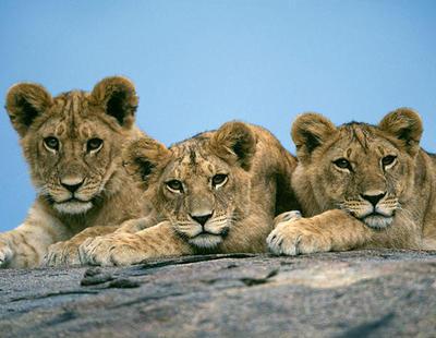 Un zoo de Suecia mata a 9 cachorros de león por falta de espacio