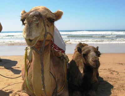 Descalifican a doce camellos de un concurso de belleza por tener inyectado bótox