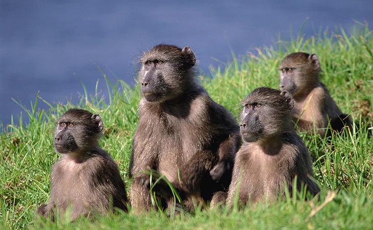 Los monos babuinos son una de las especies más sociables