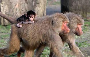 Evacuación masiva en un zoo de París por la huída de cincuenta monos