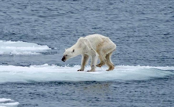 Los osos polares podrían legar a desaparecer a consecuencia del cambio climático