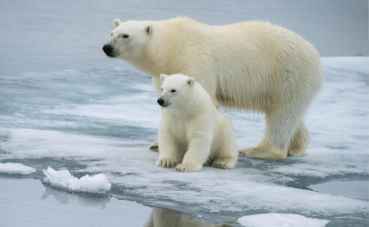 Los osos polares se están quedando sin superficie sobre la que sobrevivir