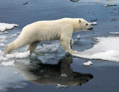 El cambio climático ha hecho que los osos polares se queden en los huesos