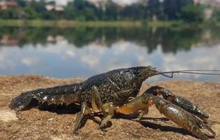 La cangrejo mutante que se clona a sí misma y que invade medio planeta