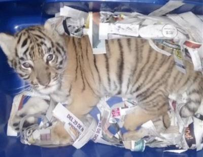 Encuentran un cachorro de tigre sedado entre los envíos de una oficina de correos