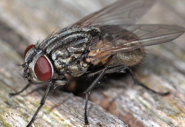 La mosca de la cara es la encargada de transmitir este tipo de infecciones