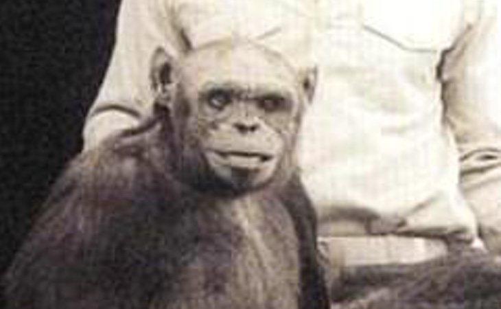 Una hembra de chimpancé fue inseminada artificialmente con esperma humano
