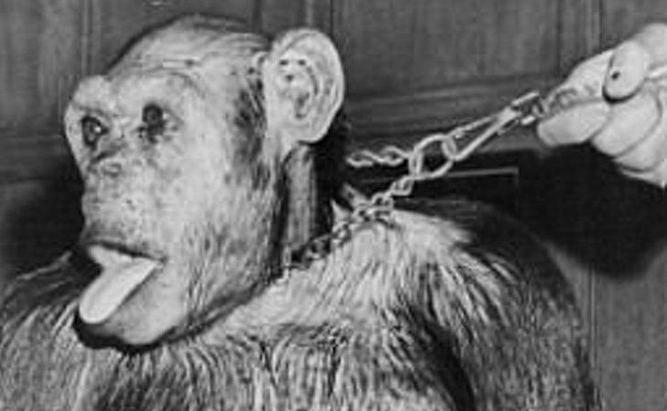 También se ha querido inseminar a mujeres con esperma de chimpancé