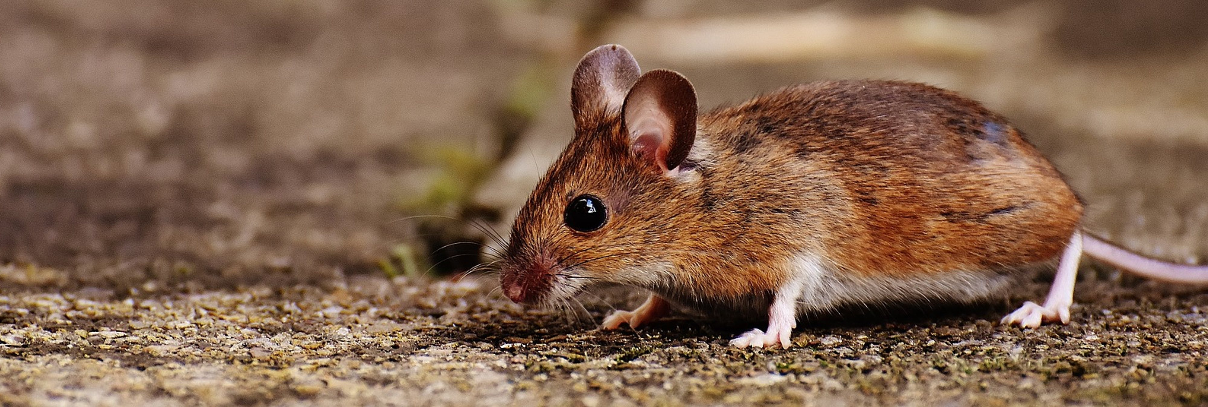 Encuentra una rata en descomposición cosida a la maloliente falda de su hija