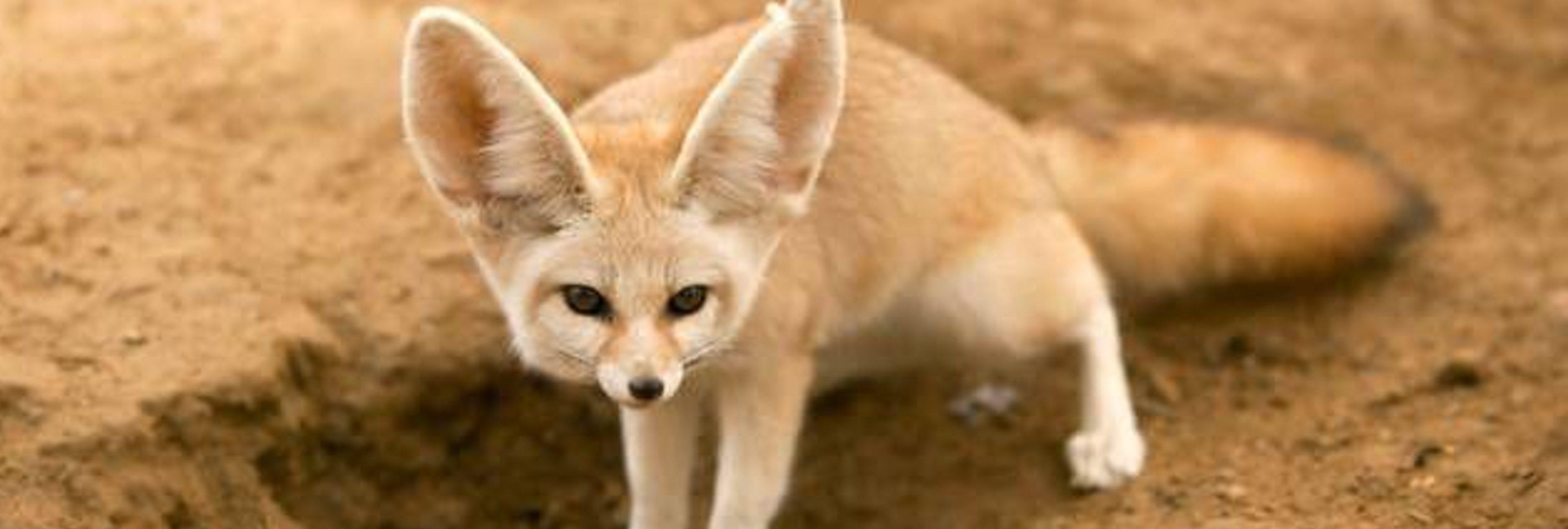 Una youtuber somete a su zorro a una estricta dieta vegana y la acusan de maltrato animal