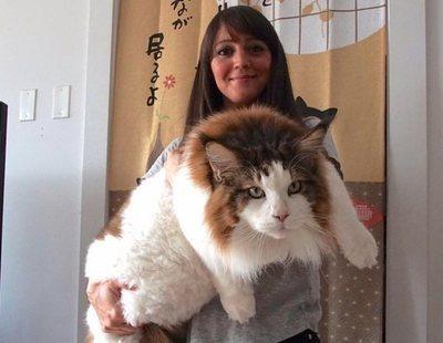 El gato gigante de 12 kilos y más de un metro que causa furor en las redes