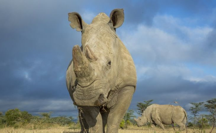 Un rinoceronte blanco del norte salvaje