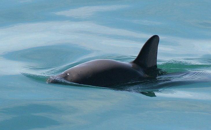 Una vaquita marina salvaje