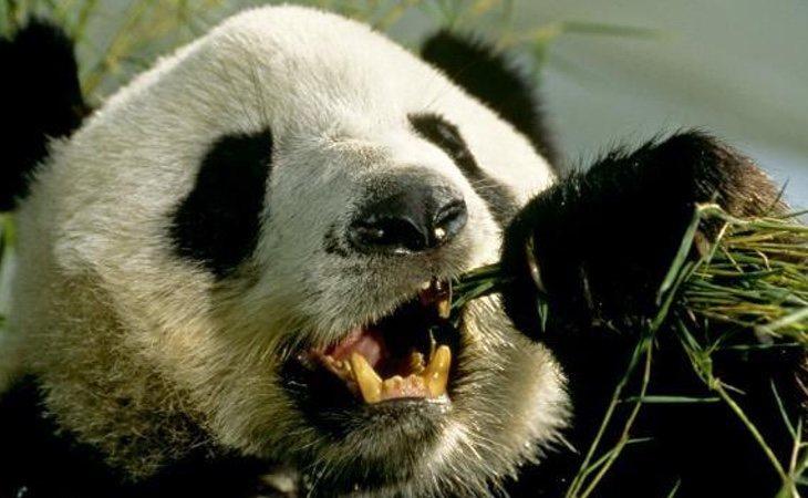 El oso panda gigante ha sido durante mucho tiempo el icono de los animales en peligro de exinción