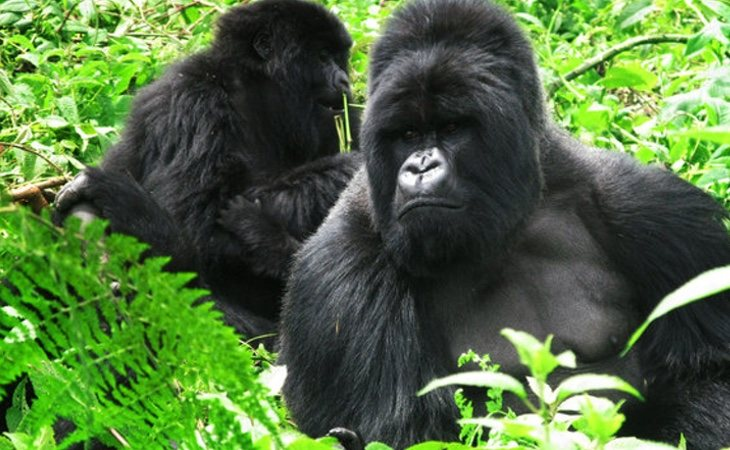 El gorila, en estado crítico