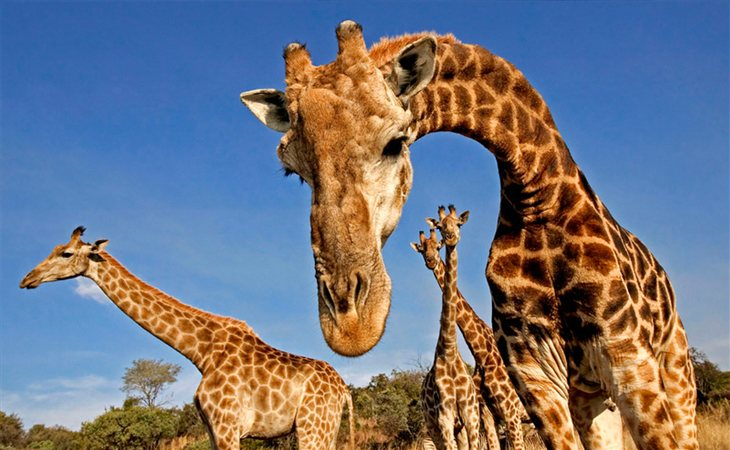 Las jirafas están en un estado vulnerable