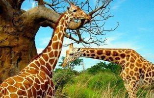 Las jirafas se suman a la lista de animales en peligro de extinción