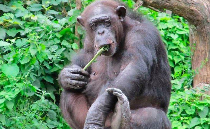 Los chimpancés tienen un mayor tamaño de los testículos