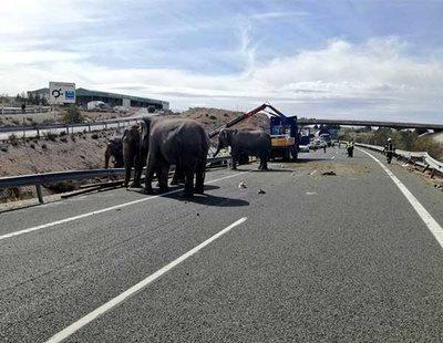 Un camión de elefantes vuelca en la A-30: llenaron la autovía a la vista de todos los conductores
