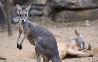 Muere una canguro en un zoo de China: los visitantes le lanzaron piedras para que saltara
