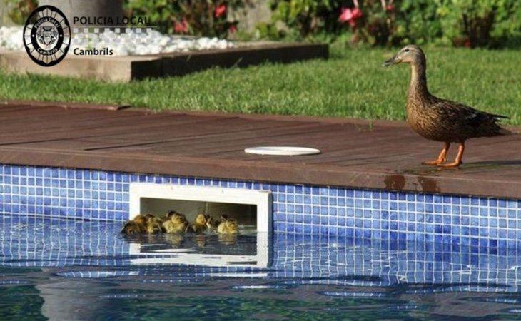 Patos rescatados por la Policía