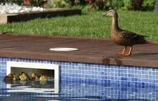 Adorable misión: la Policía rescata a 11 patitos atrapados en una piscina