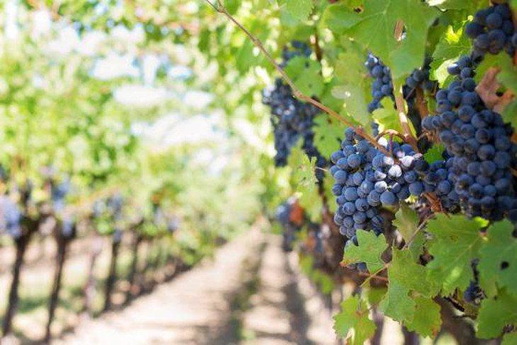 El vino podría desaparecer tal y como lo conocemos