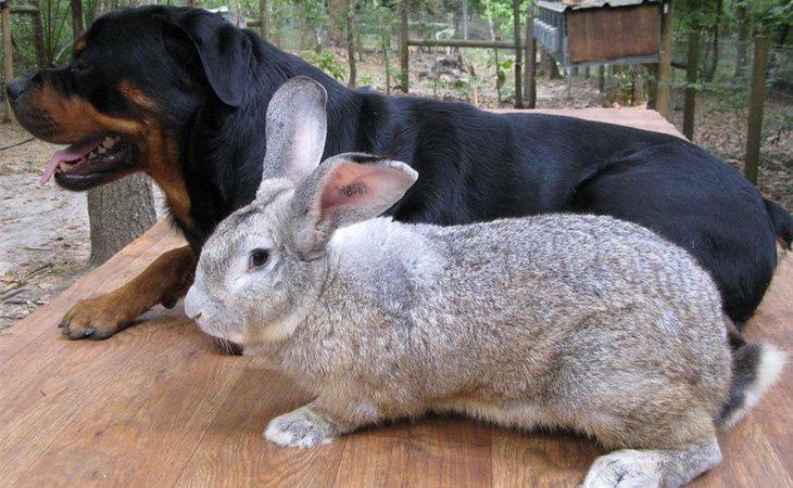 El conejo de Flandes puede tener el mismo tamaño que un perro