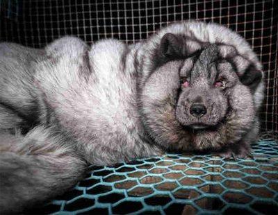 Maltrato animal: ceban a zorros en granjas de Finlandia para obtener un pelaje de mayor calidad