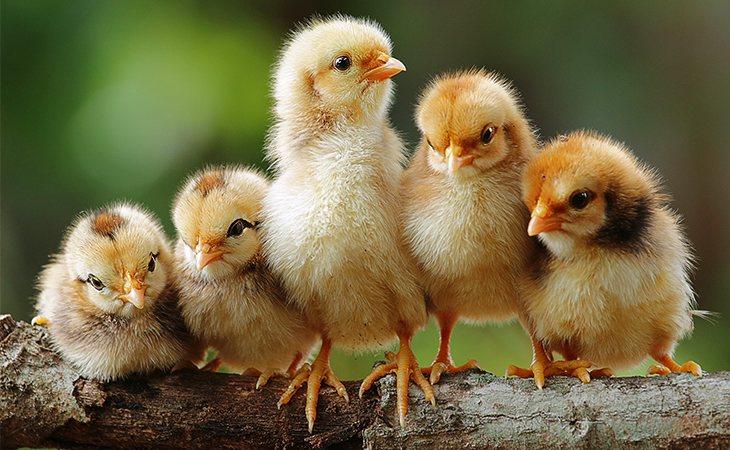 Células humanas dentro de pollos