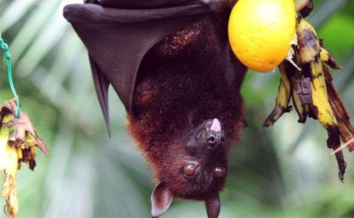 El nipah es transmitido por los murciélagos que comen fruta