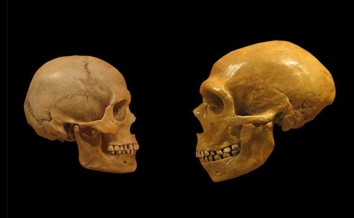 Cerebro del 'Homo Sapiens' y del neandertal