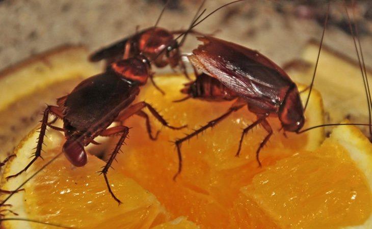 El consumo de alimentos contaminados por las cucarachas puede provocar enfermedades como la disentería o la salmonelosis