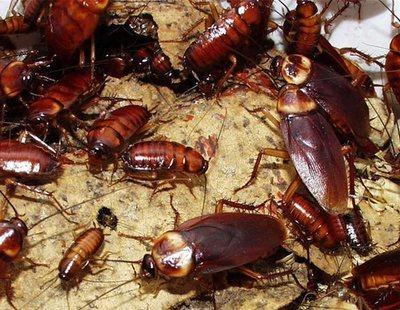 Se espera una invasión de cucarachas este verano