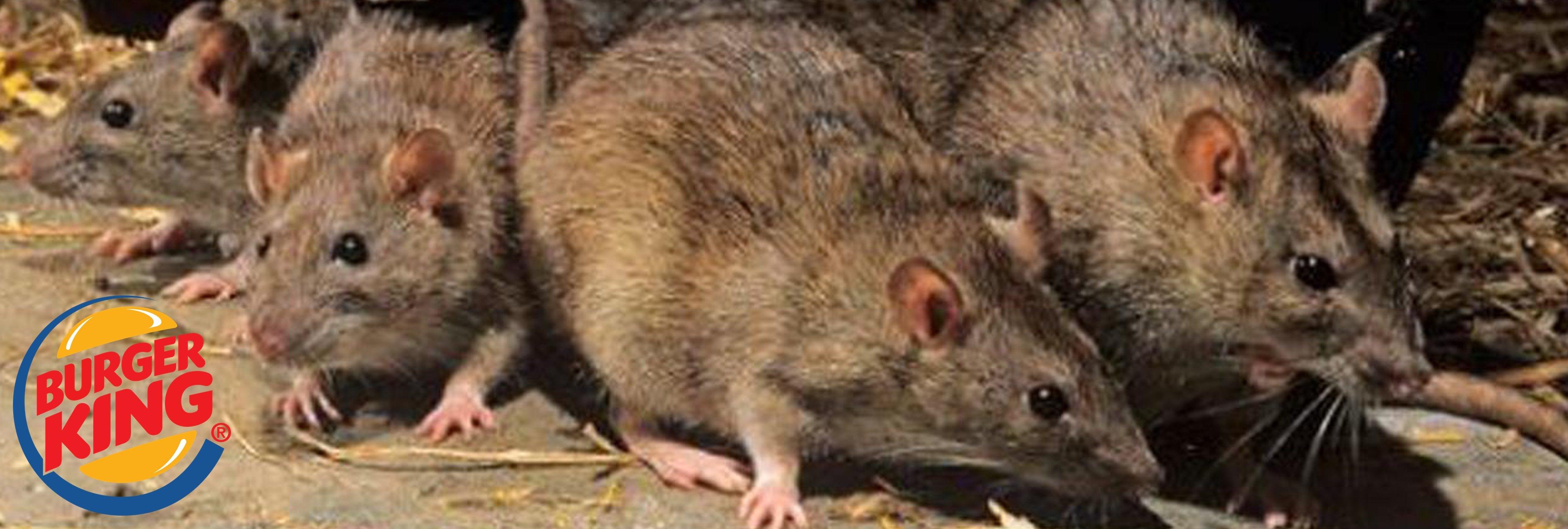 Encuentran ratas entre los panes de un Burger King de EEUU