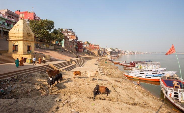 Las vacas son un animal sagrado en la India