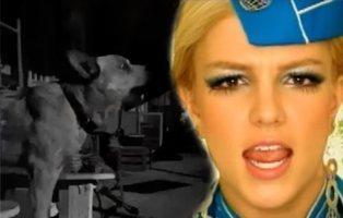 """Este perro """"canta"""" mejor que Britney Spears su éxito 'Toxic' y las redes enloquecen"""