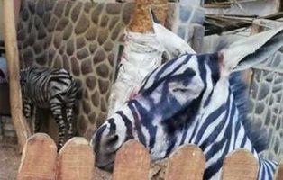 Un zoo de Egipto pinta a burros de blanco y negro para hacerlos pasar por cebras