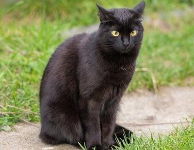 El festejo de lanzar a una gata negra desde dos metros de altura podría terminar