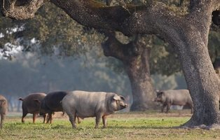 El nuevo informe del Gobierno: España tiene más cerdos que personas