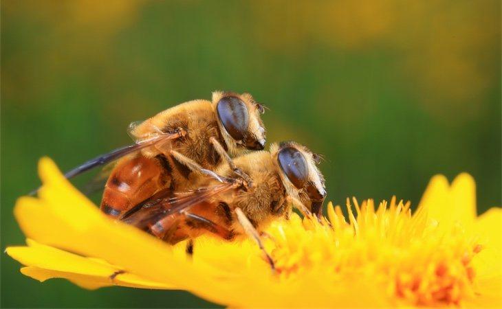 Las abejas emiten feromonas