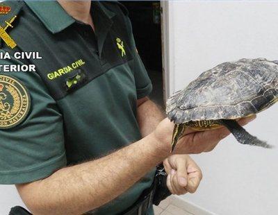 Ingresa una mujer en Tenerife con una tortuga muerta dentro de la vagina durante días
