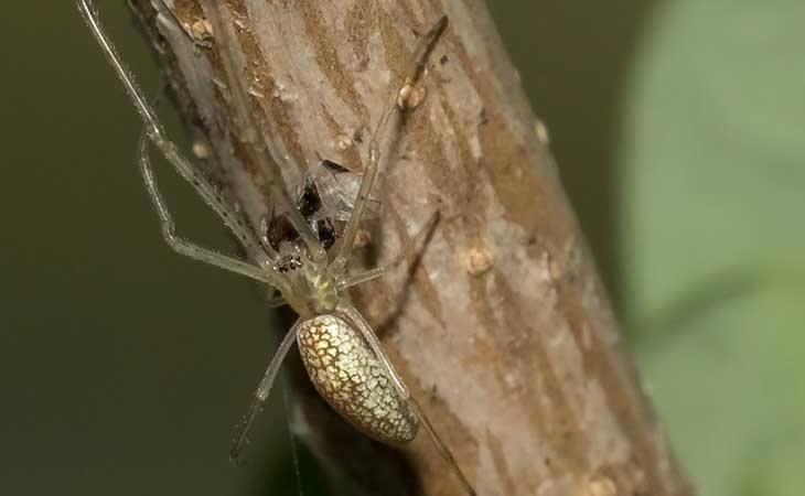 Un ejemplar de la araña Tetragnatha