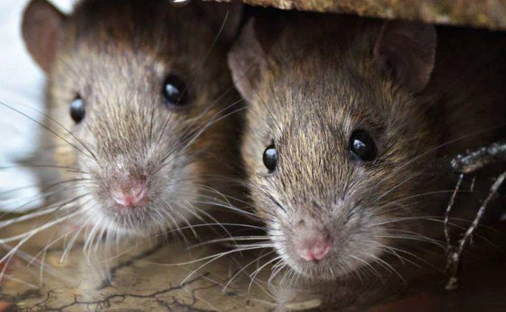 La ciencia consigue que dos ratones del mismo sexo se reproduzcan