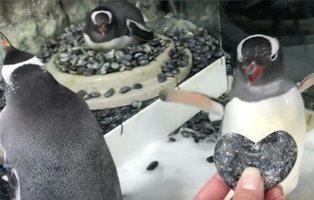 Una pareja gay de pingüinos incuba el huevo de su futuro hijo en el Acuario de Sidney