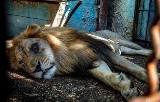 """Rescatan 12 animales en condiciones """"lamentables"""" de uno de los peores zoos de Europa"""
