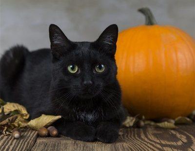 Paralizadas las adopciones de gatos negros en Halloween ante los sacrificios satánicos